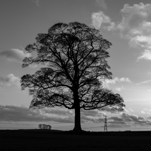 Tree at Hooton Levitt.jpg