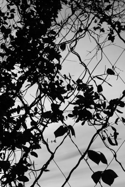 Vines on Fence (Flickr).jpg