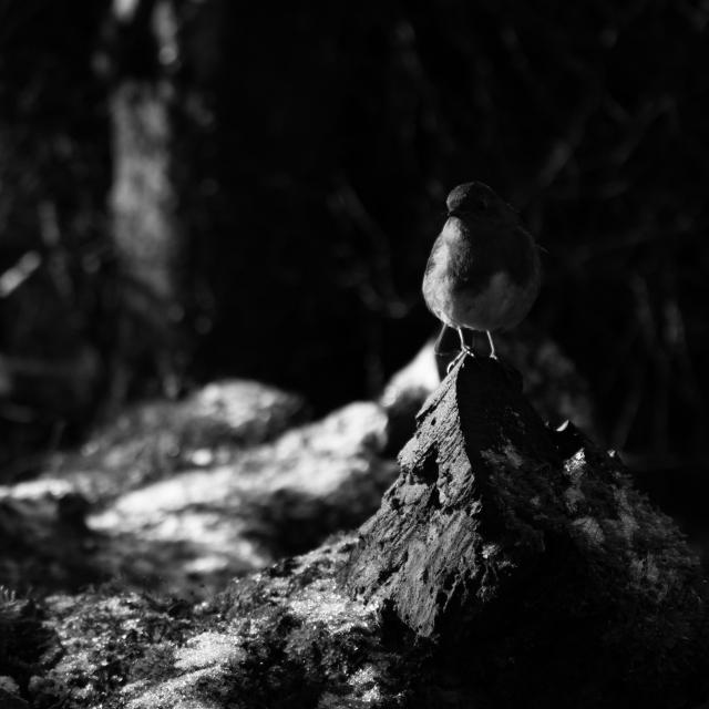 Robin on Fallen Tree (Flickr).jpg